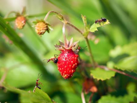 strawberries pests